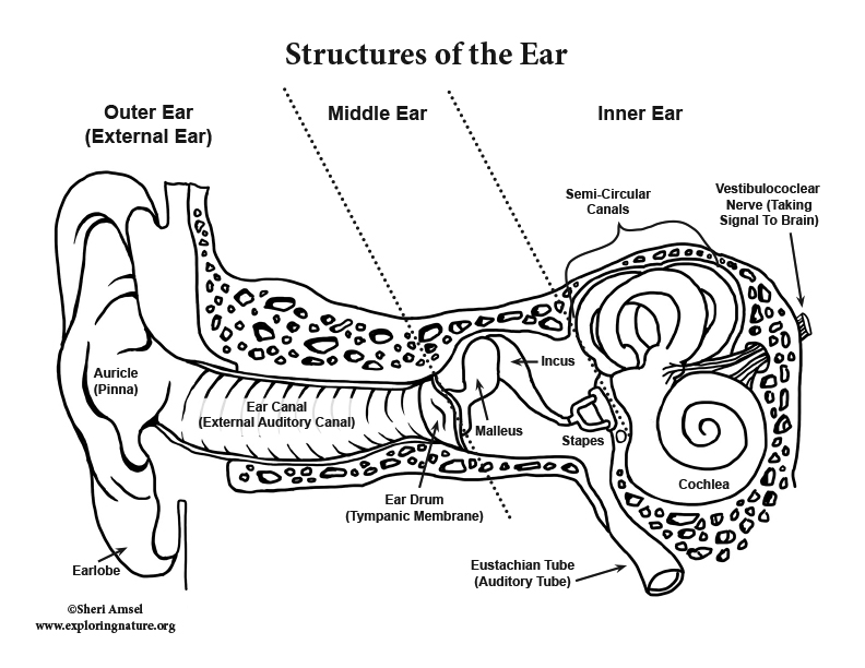 Hearing and the Structure of the Ear