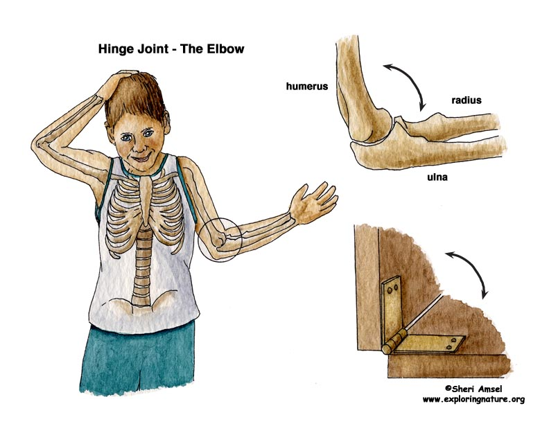 elbow joint, hinge joint