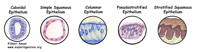 Tissues - Epithelium, Muscle, Connective Tissue and Nervous Tissue
