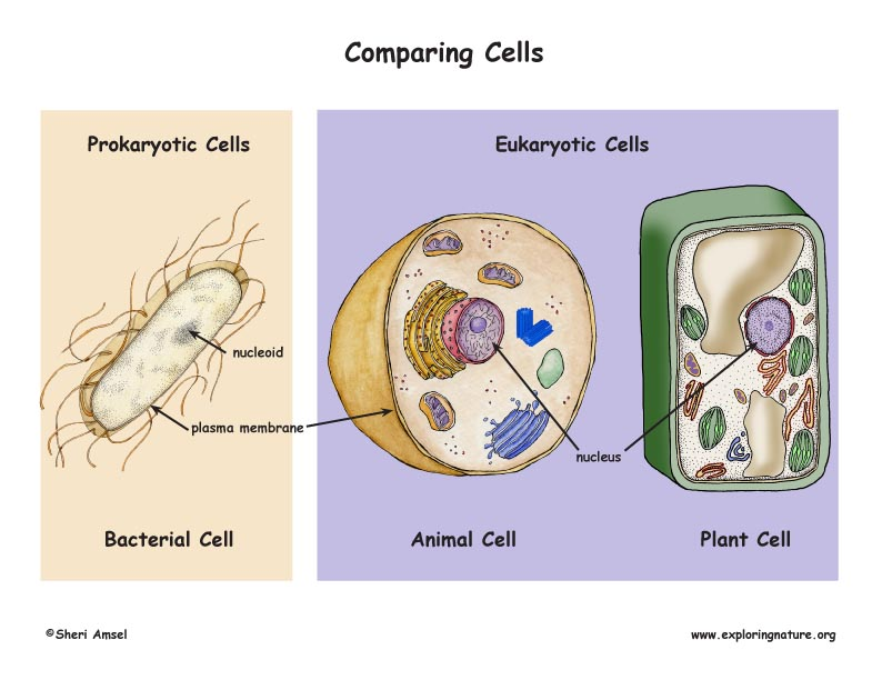Prokaryotic Cells Vs Eukaryotic Cells Poster