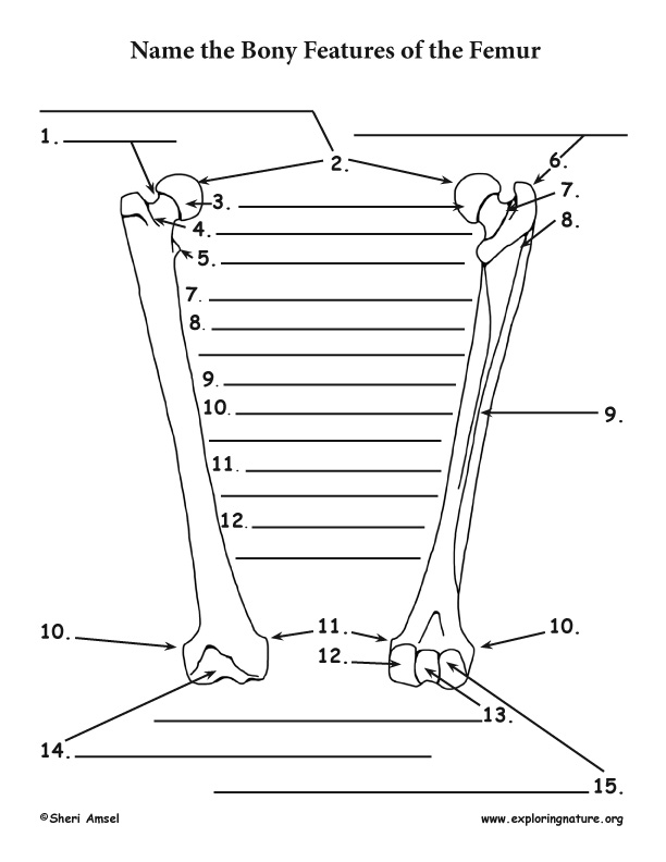 Skeletal System - Bony Features of the Femur (Thigh)