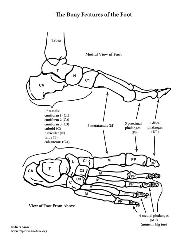 Foot - Bony Features