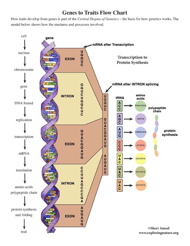 Genes to Traits Diagram