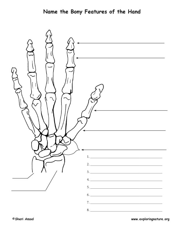 Skeletal System - Bony Features of the Hand