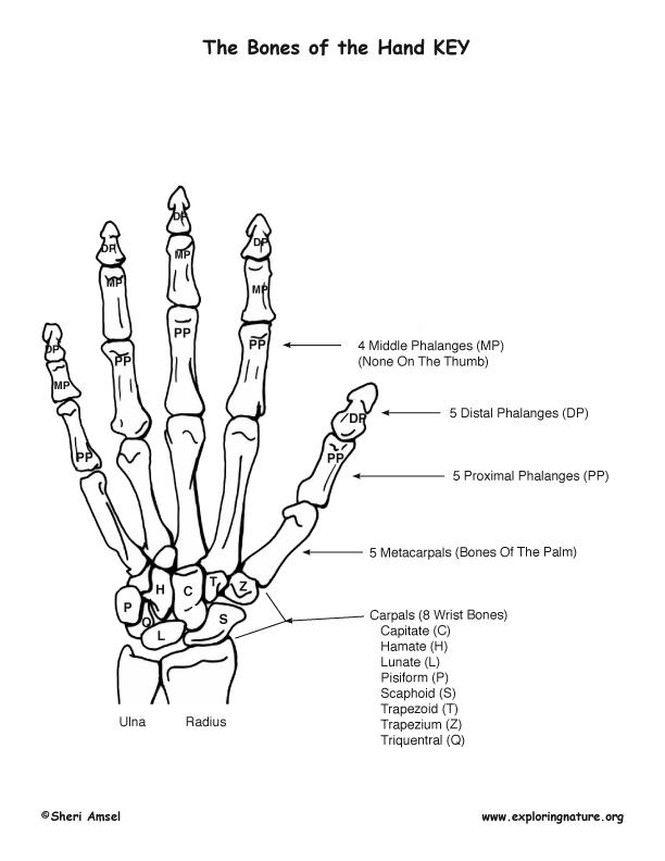 Hand - Bony Features