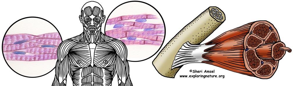 muscular system header