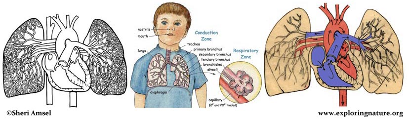 Respiratory System - Multiple Choice