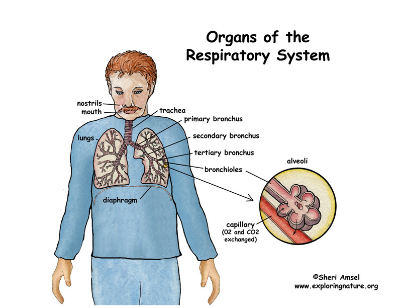 what are all the parts of the respiratory system