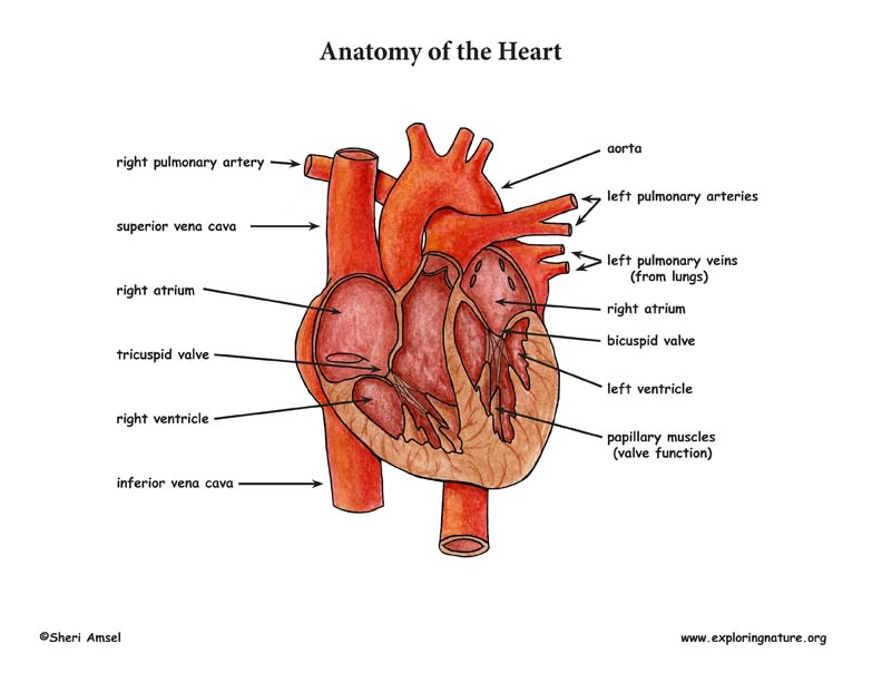 Heart Anatomy and Blood Flow (Advanced)