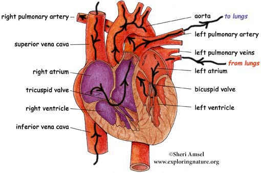 Heart of the Circulatory System Labeling