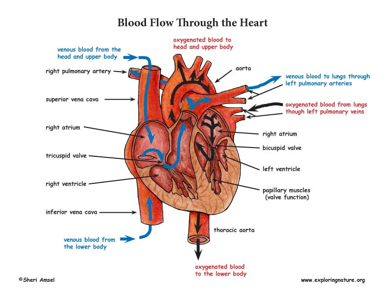 Großartig Blood Flow Through The Body Fotos - Menschliche Anatomie ...