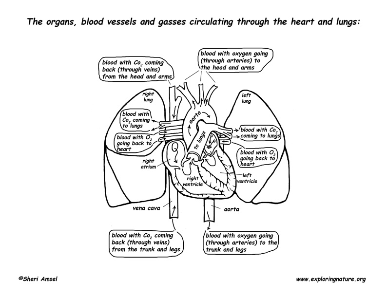 Circulation Through the Heart and Lungs