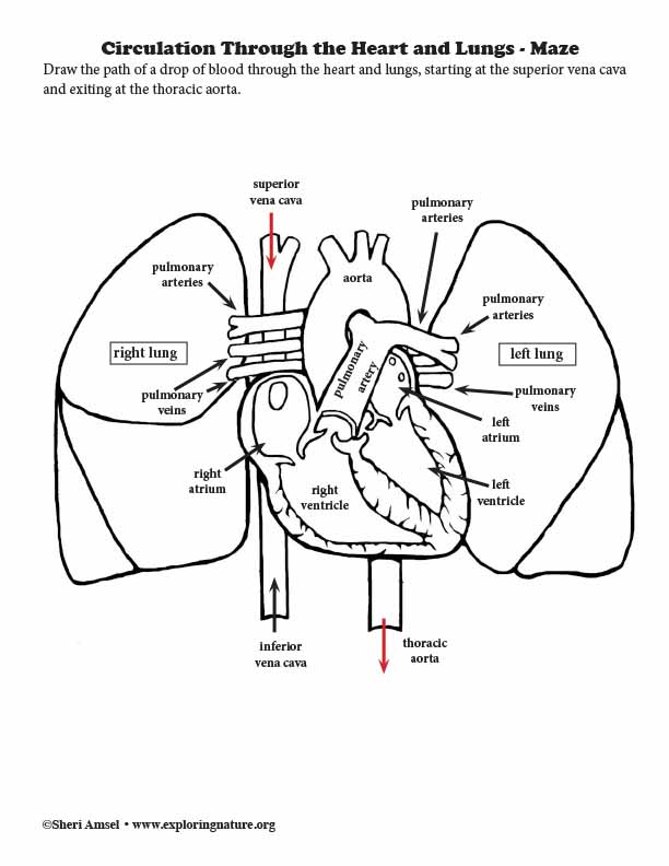 Circulation Through the Heart and Lungs - Maze