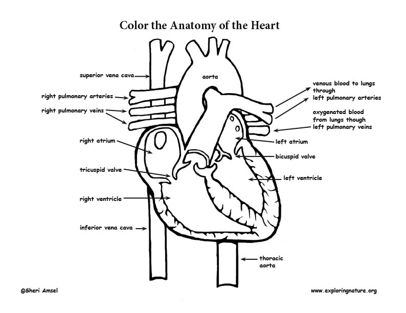 heart anatomy coloring page. Black Bedroom Furniture Sets. Home Design Ideas