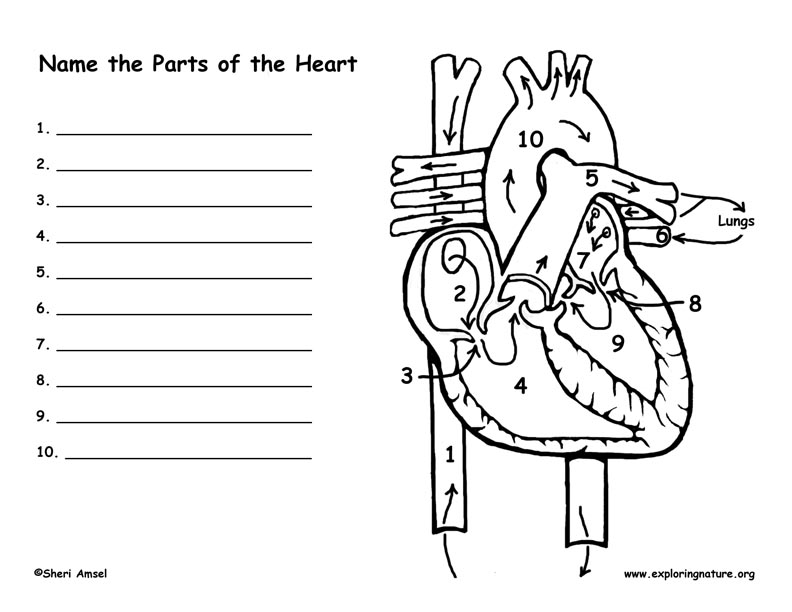 Heart and blood flow labeling page ccuart Choice Image