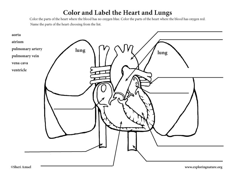 Blood through the heart and lungs coloring and labeling (elementary)