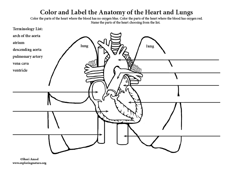 Heart And Lungs Labeling Pages