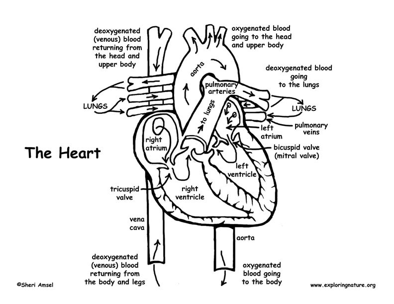 Heart Blood Flow Coloring Page