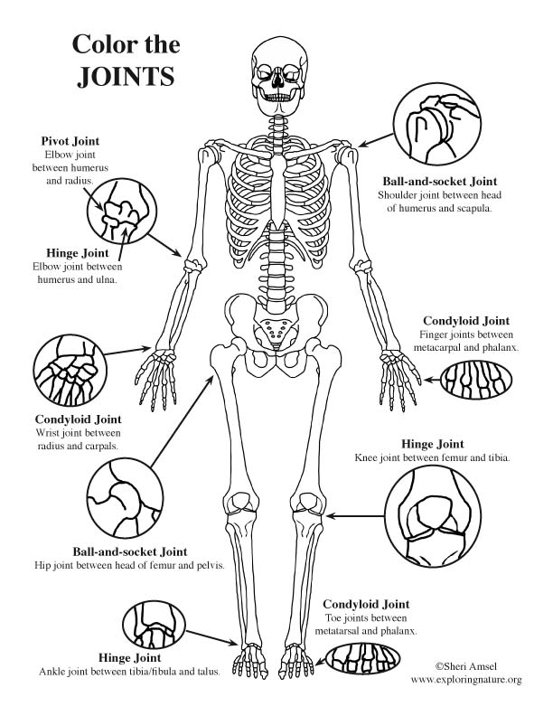 joints of the body  advanced  coloring page