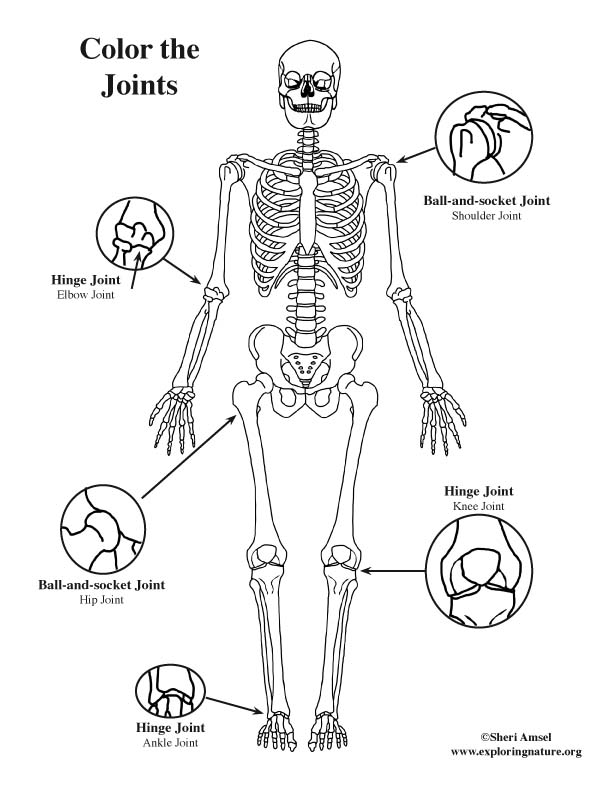 Joints of the Body Basic Coloring Page