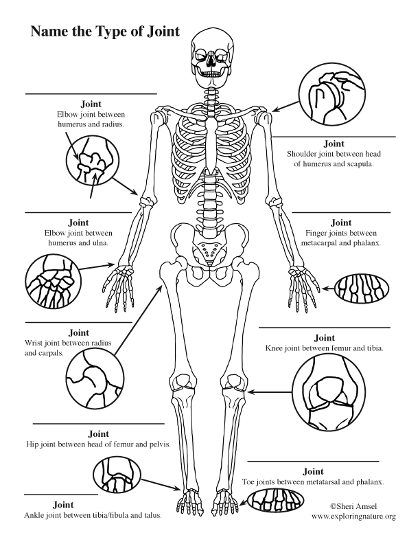 Joints of the Body Labeling