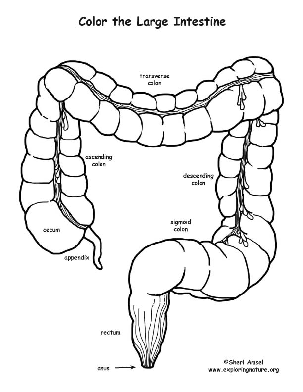Large Intestine Coloring Page