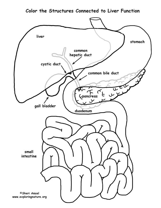 liver function organs labeled coloring page