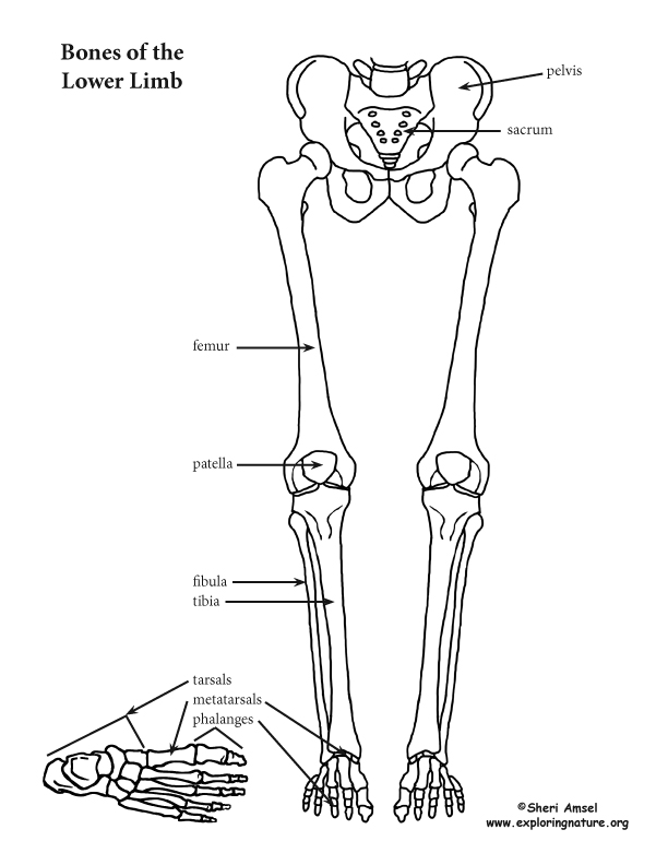 Lower Limb Thigh Leg And Foot
