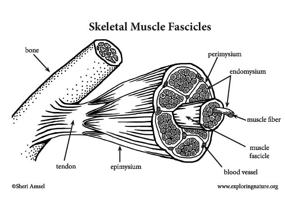 Muscle Anatomy A Closer Look At Skeletal Muscle
