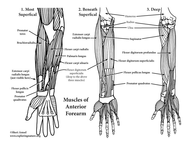 Arm and forearm muscles anatomy