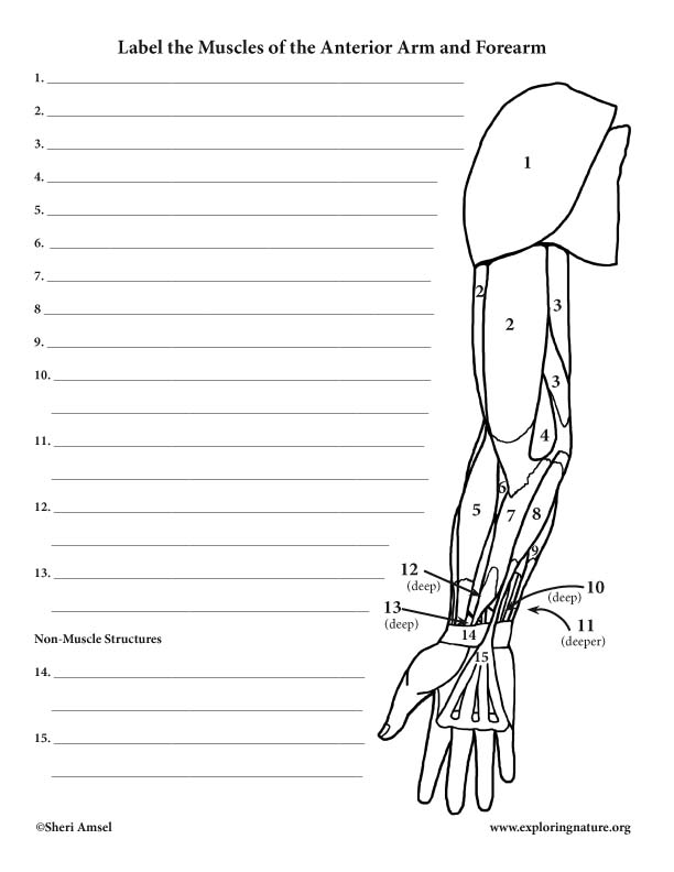 Muscles of the Arm and Forearm (Anterior) – Labeling Page