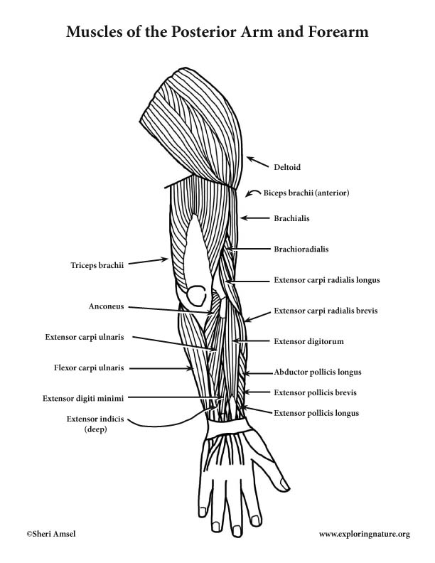 muscles of the arm and forearm  posterior   advanced