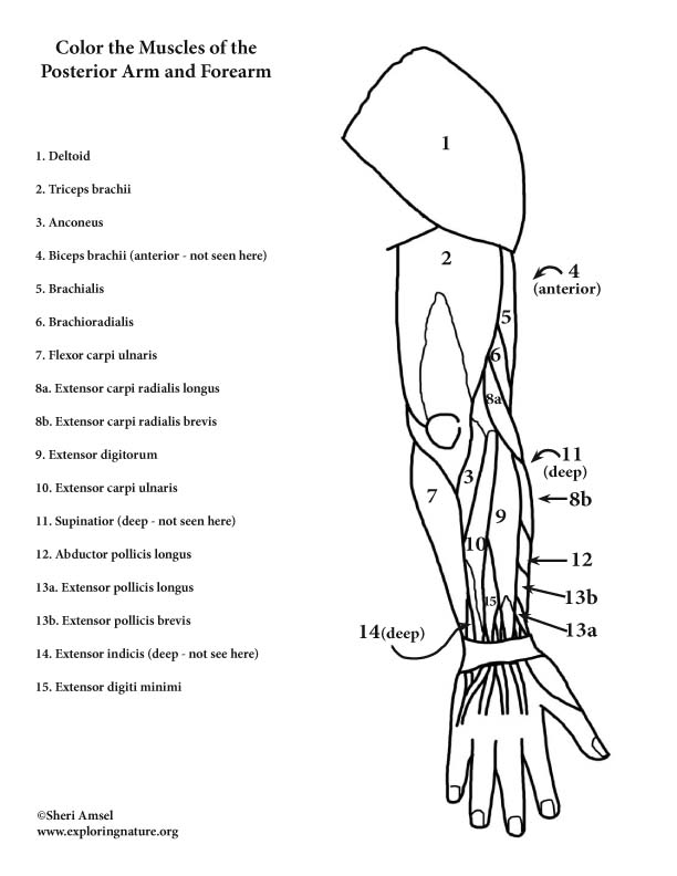 Muscles of the Arm and Forearm (Posterior) - Coloring Page