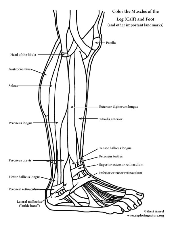 Anatomy Coloring Book Example Muscles Of The Leg And Foot