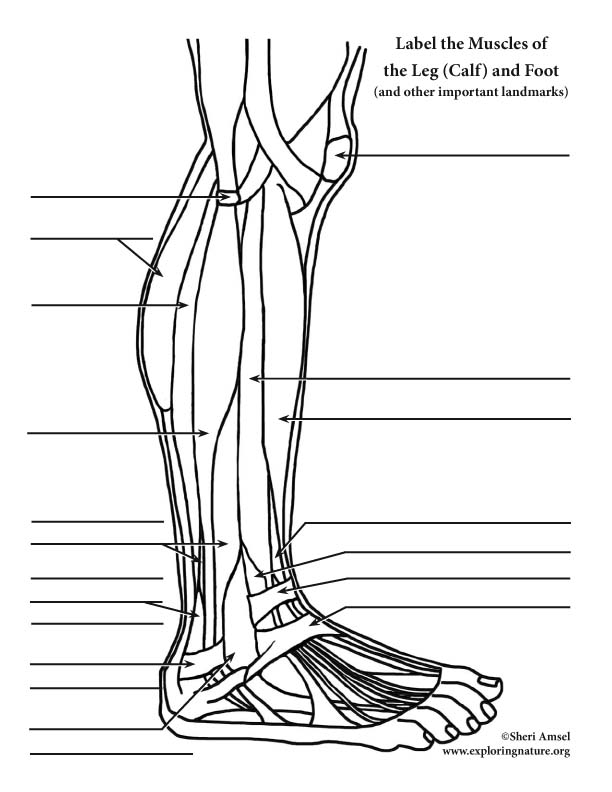 Muscles of the Leg and Foot Labeling Page