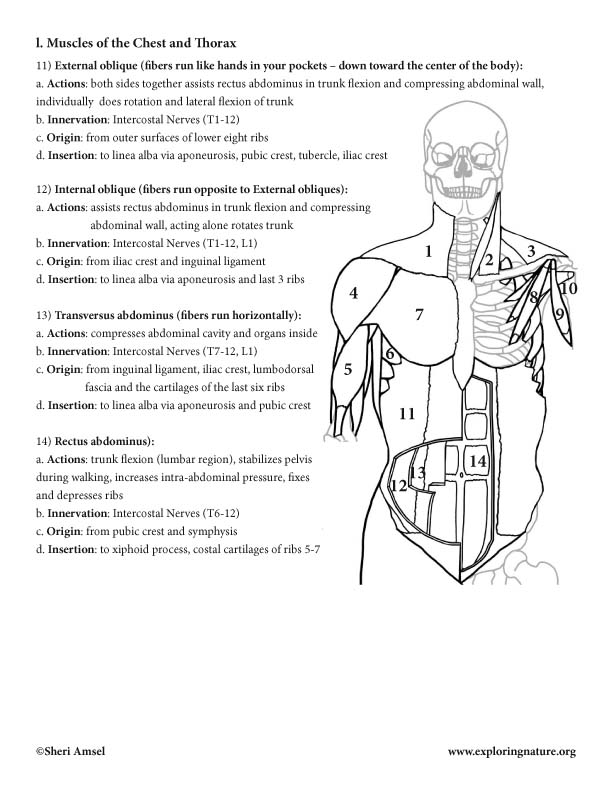 Muscles Of The Neck Shoulders Chest And Thorax