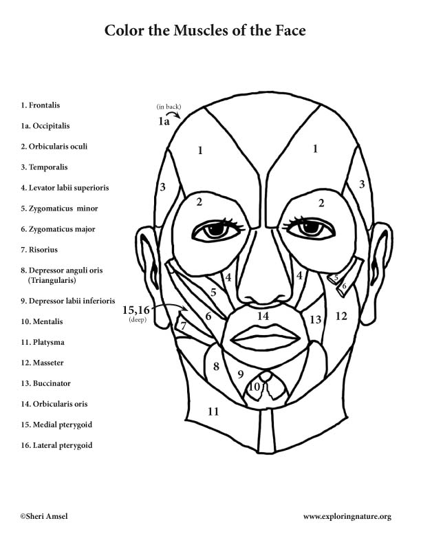 Muscles of the Face Coloring, Muscles of the Face - Coloring Page