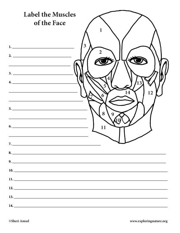 Muscles of the Face - Labeling Page