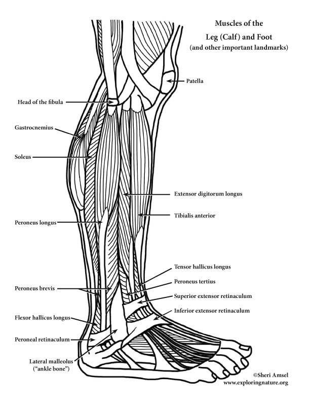 Muscles of the Leg (Calf) and Foot (Lateral View) (Advanced)