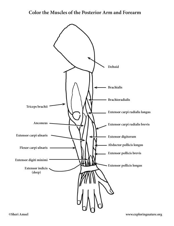 Muscles of the Arm and Forearm Coloring Page