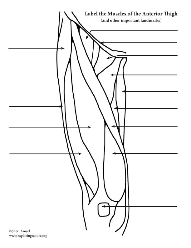 Muscles of the Thigh (Anterior) – Labeling
