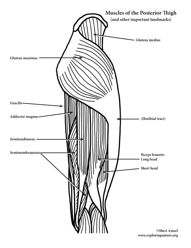 Muscles of the Thigh and Hip (Posterior View) (Advanced)