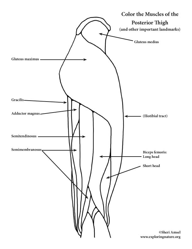 Muscles of the Thigh and Hip Posterior Coloring