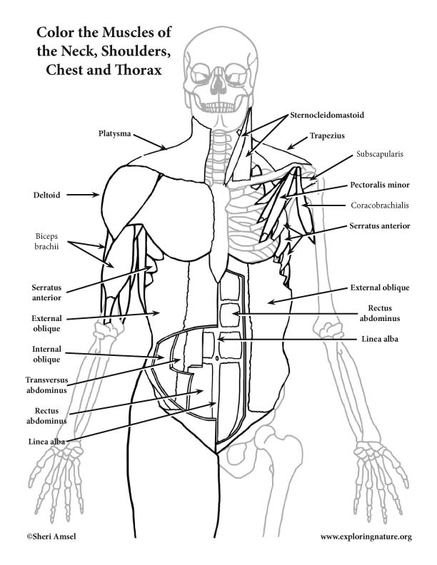 Muscles of the Anterior Neck, Chest and Thorax Coloring Page