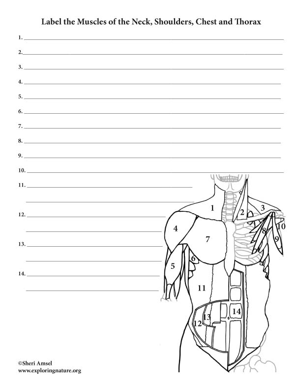 Muscles of the Neck, Chest and Thorax – Labeling Page