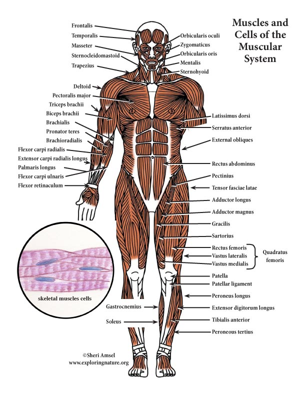 Muscular System Color Diagram (Mini-Poster)