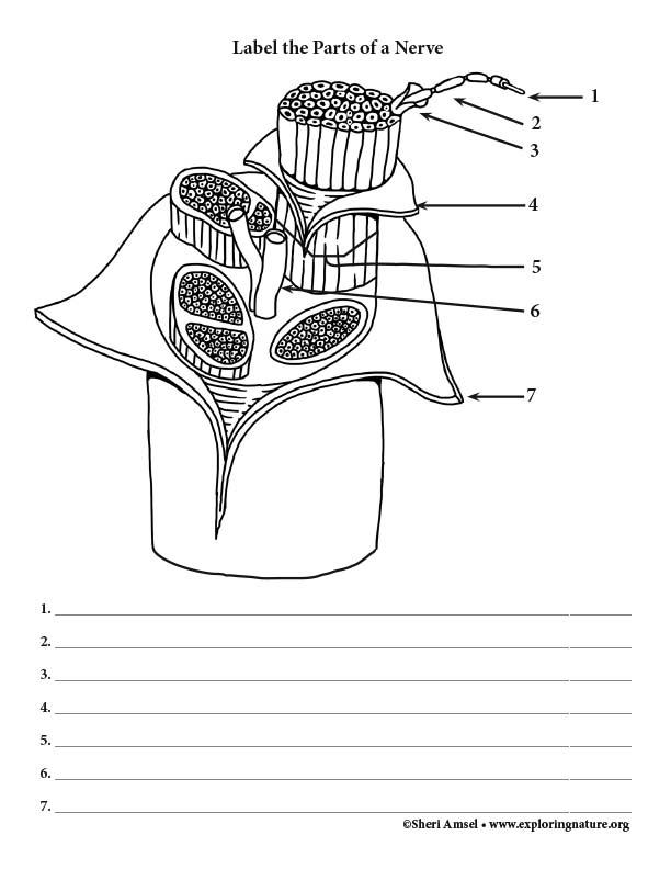 Nerve Structures - Labeling Diagram