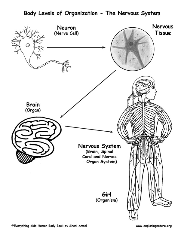 Levels of Organization in the Body - Cells to Organisms