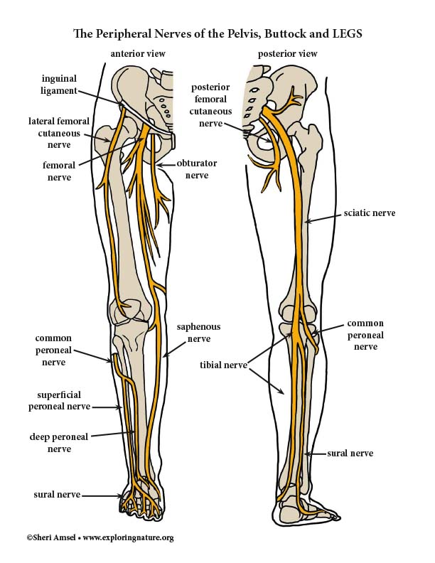 Nerves of Lower Limb - Color Diagram