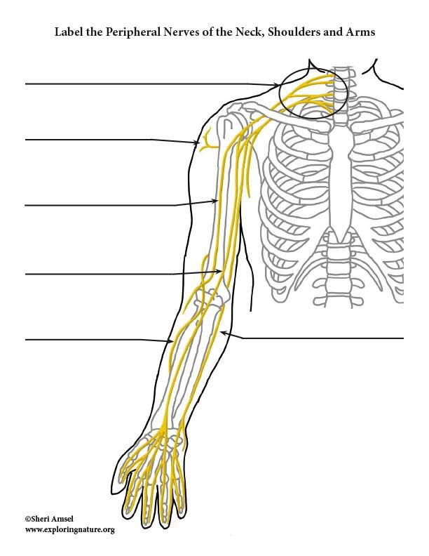 Nerves of the Upper Limb - Labeling Diagram